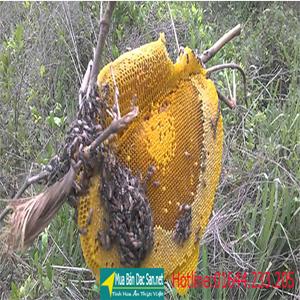 asp mật ong rường nguyên chất