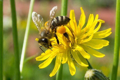 mật ong rừng từ hoa cúc