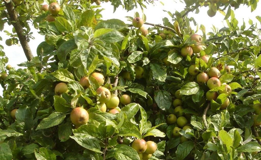 cây táo mèo- táo mèo khô sapa