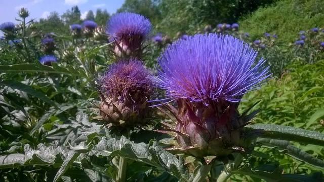 hoa cây atiso-cao atiso sapa